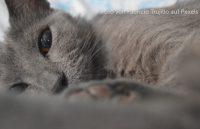 Graue Katze mit CNI