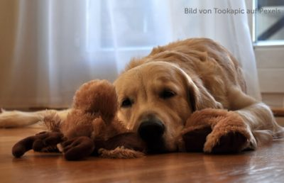 Inkontinenter Golden Retriever