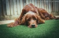 Hund mit Blasenentzündung