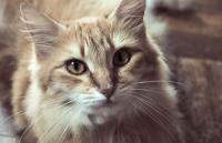 Rote Katze mit Blut im Urin