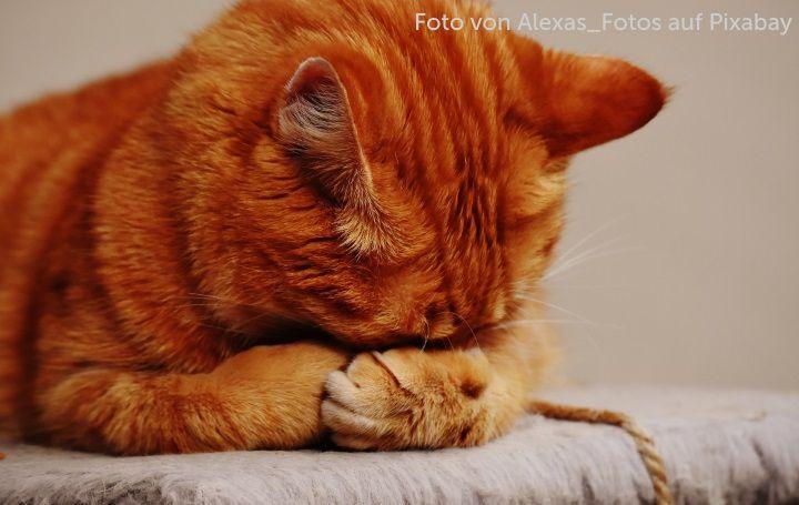 Katze, die sich schämt