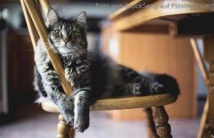 Katze mit idiopathischer FLUTD bzw. Blasenentzündung