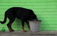 Hund trinkt viel Wasser