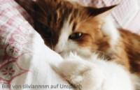 Katze mit Blasensteinen aus Struvit