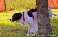 Hund hat Probleme beim Pinkeln (Schmerzen)