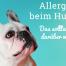 Hund mit Allergie