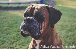 Hodentumor Beim Hund Symptome Diagnose Und Behandlung