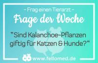 Kalanchoe-Pflanzen: giftig für Katzen & Hunde?