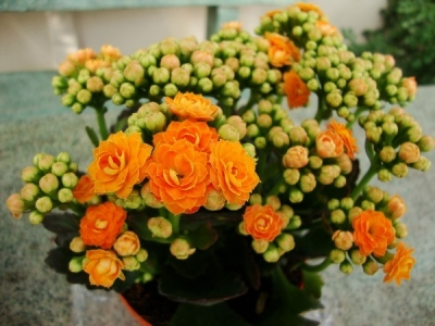 Kalanchoe blossfeldiana (flammendes Käthchen)