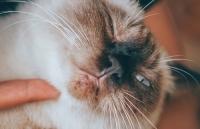 Katze mit Kinnakne