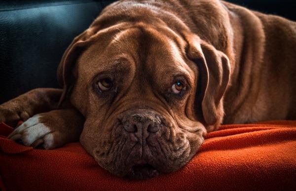 Hund-mit-Nierenversagen