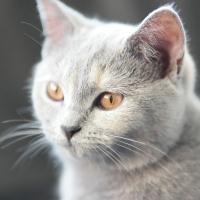 Britisch Kurzhaar-Katze