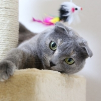 Scottish Fold-Katze