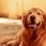Hund mit Schilddrüsenunterfunktion (Hypothyreose)