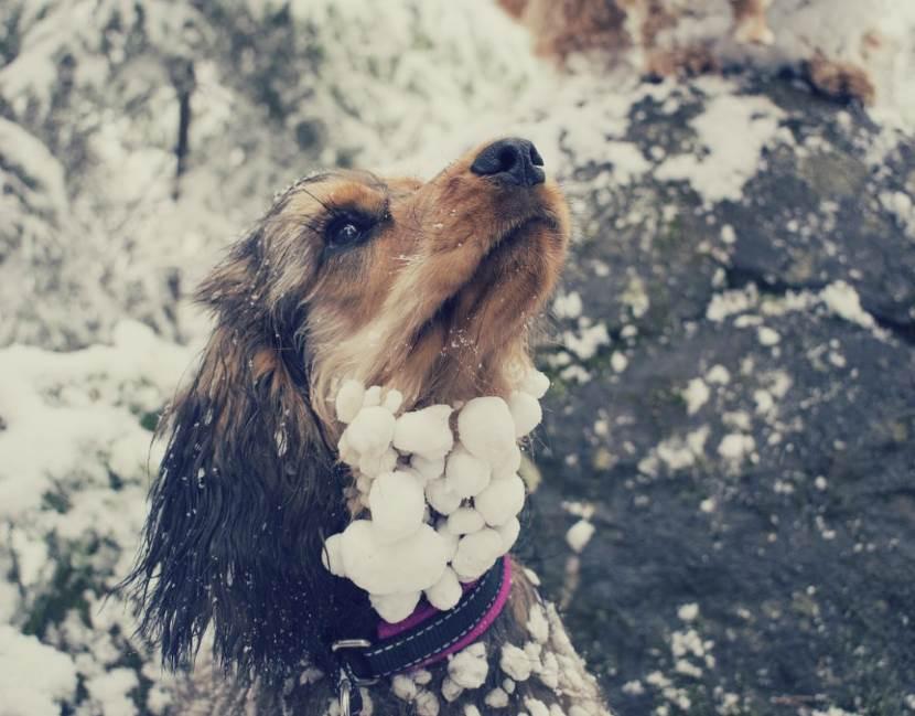 Hund mit Schneebällen im Fell