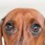 Hund mit Dackelblick