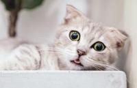 Hustende Katze