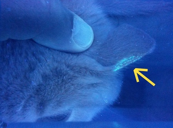 Untersuchung Woodsche Lampe bei Katze mit Schuppen durch Hautpilz