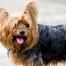 Schuppen bei einem Hund (Yorkshire Terrier)