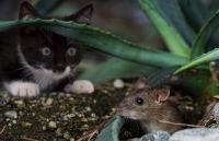 Rattengift Alpha-Chloralose: Vergiftung bei Katzen und Hunden